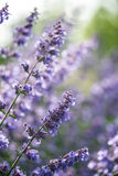 Close up image of wild lavender plant landscape with shallow dep Royalty Free Stock Photos