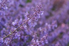 Close up image of wild lavender plant landscape with shallow dep Royalty Free Stock Photo