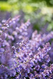 Close up image of wild lavender plant landscape with shallow dep Royalty Free Stock Image