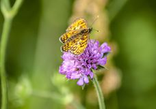 Yellow butterfly on a purple wild flower. Close up image of a yellow butterfly on a purple wild flower in a green Spring meadow Stock Photo
