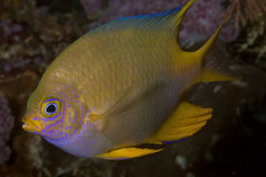 Close up image of yellow damsel fish Royalty Free Stock Images