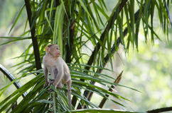 A Close up image of a young Bonnet Macaque Monkey Royalty Free Stock Images