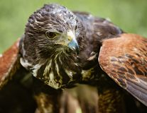Close-up of immature Black-Chested Buzzard-Eagle head. At a bird rescue center in Ecuador stock photo