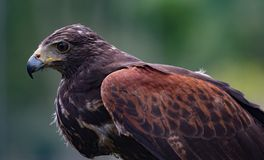 Close-up of immature Black-Chested Buzzard-Eagle head. At a bird rescue center in Ecuador royalty free stock photo