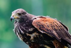 Close-up of immature Black-Chested Buzzard-Eagle head. At a bird rescue center in Ecuador royalty free stock images