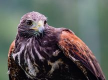 Close-up of immature Black-Chested Buzzard-Eagle head. At a bird rescue center in Ecuador stock image