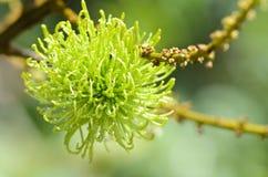 Close-up of immature rambutan Royalty Free Stock Image