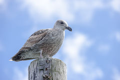 Close up of immature seagull on post. Stock Images