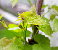 Close-up of immature wine grapes Royalty Free Stock Image