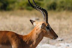 Close up impala Botswana Royalty Free Stock Photo