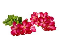 Close-up Impala Lily or  desert rose isolate on white background Stock Photo