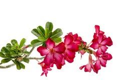 Close-up Impala Lily or  desert rose isolate on white background Stock Photography