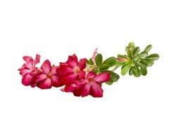 Close-up Impala Lily or  desert rose isolate on white background Royalty Free Stock Photos
