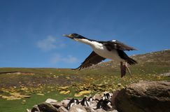 Close up of an Imperial Cormorant in flight. Close-up of an Imperial Cormorant in flight, Falkland islands in summer Royalty Free Stock Photo