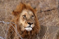 Close up of male lion in the Kruger National Park, South Africa royalty free stock photography
