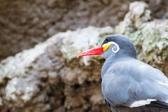 Close up of an inca tern. The inca tern feeds mostly on anchovies Royalty Free Stock Photos