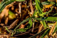 Close up incrível de gotas de orvalho do amanhecer na grama Fotos de Stock Royalty Free
