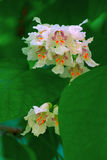 Close up of Indian Bean Tree flowers (Catalpa bignonioides)Back. Catalpa blossoms over blurred nature backgroundб spring flowers Spring background with bokeh Royalty Free Stock Image