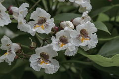 Close up of Indian Bean Tree flowers or Catalpa bignonioides. Sofia, Bulgaria Royalty Free Stock Image