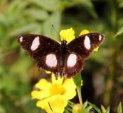 Close up of Indian butterfly : Great Eggfly Royalty Free Stock Image