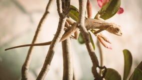 Close up of Indian Chameleon (Chamaeleo zeylanicus). Royalty Free Stock Photos
