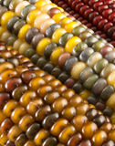 Close-up of Indian Corn Stock Photo