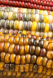 Close-up of Indian Corn Royalty Free Stock Image