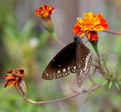 Close up of Indian Crow butterfly Stock Photography