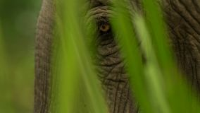 Close up Indian elephant`s eyes, Kaziranga National Park, Assam, India royalty free stock images