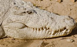 An Indian Crocodile stock images