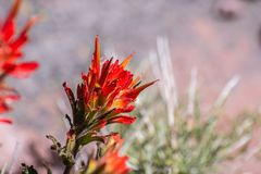 Close up of Indian paintbrush Castilleja wildflower blooming in Siskiyou County, California royalty free stock photo