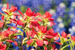 Close-up of Indian Paintbrush wildflowers. Texas bluebonnets in the background royalty free stock image