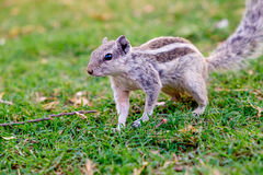 Close up of indian palm squirrel in garden park at sunset Royalty Free Stock Image