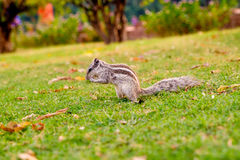 Close up of indian palm squirrel in garden park at sunset Royalty Free Stock Photos