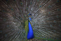 Close up of indian peacock with beautiful fan tail feather Stock Photography