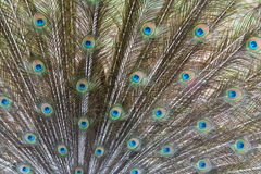 Close up of Indian peafowl or blue peafowl tail Royalty Free Stock Images