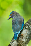 Close up of Indian roller Stock Images
