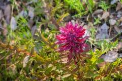 Close up of Indian Warrior Pedicularis densiflora plant, California royalty free stock image
