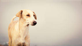 Close up of an Indian white dog. Close up of an Indian white dog known as Indian pariah dog, INDog, Pie dog Royalty Free Stock Images