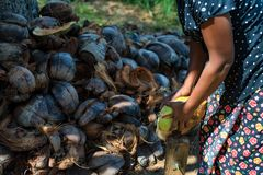 Indian woman dehusks coconuts. Close up Indian woman uses special device to dehusk coconuts with pile of husk in background Stock Images
