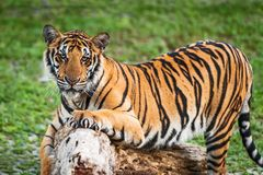 Close up Indochinese tiger. That tiger look straight at me, it so scary Stock Photos