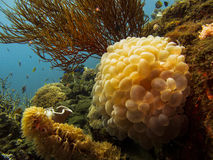 Close-up of inflated sacks of Bubble Coral - Plerogyra sinuosa - Indonesia stock photo