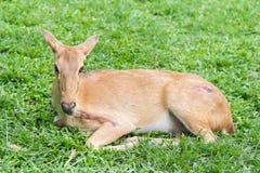 Close up Injured antelope Royalty Free Stock Images
