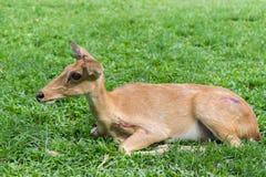 Close up Injured antelope Royalty Free Stock Photo