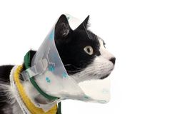 Injured cat with a collar royalty free stock photo