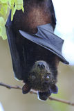 Fruit Bat in Koh Lipe Stock Images