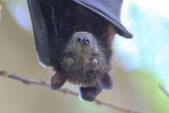 Fruit Bat in Koh Lipe Stock Photo