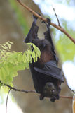 Fruit Bat in Koh Lipe Stock Photography
