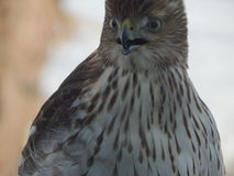 Close up of Inmature Coopers Hawk Royalty Free Stock Images