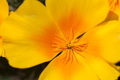 Close up of the inner part of yellow flower Royalty Free Stock Image